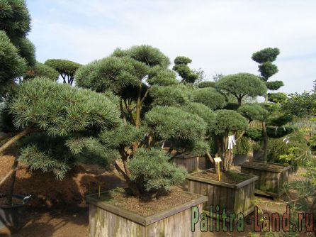 Хвойные растения на вашем участке